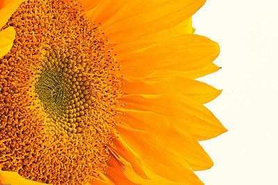 I picked up some sunflowers a couple weeks ago, and couldn't resist making a few photos. I'm still trying to hone my macro photography skills, particularly with controlled lighting. It's a fairly standard shot, but I still like it, and it was good practice.